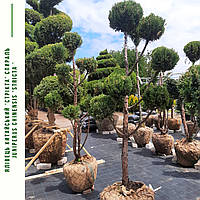 Можжевельник китайский 'Стрикта'/ Juniperus chinensis 'Stricta'/ Ялівець китайський 'Стрікта' БОНСАЙ, фото 1