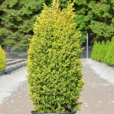 Можжевельник обыкновенный Голд Кон\Juniperus communis Gold Cone
