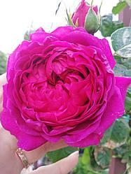 Роза ШТАМБОВАЯ «МИКС, h=150-160 см