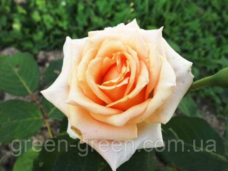 Троянди чайно-гібридна Versiliia (Версилия), саджанець