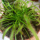 Росянка растение-хищник со сладкими листьями-ловушками в маленьком горшке, фото 2
