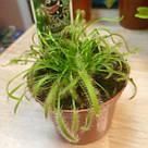 Росянка растение-хищник со сладкими листьями-ловушками в маленьком горшке, фото 5