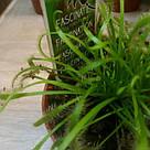 Росянка растение-хищник со сладкими листьями-ловушками в маленьком горшке, фото 3