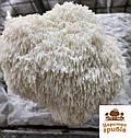 Зерновий міцелій Геріцій (Hericium erinaceus) 1 кг., фото 5