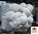 Зерновий міцелій Геріцій (Hericium erinaceus) 1 кг., фото 6