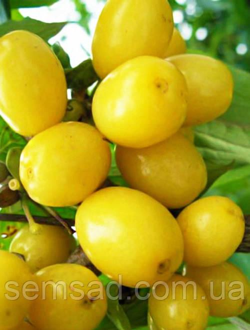 Кизил сорт Янтарный ( саженцы 2 года  ОКС )  Привитой - плодоносит