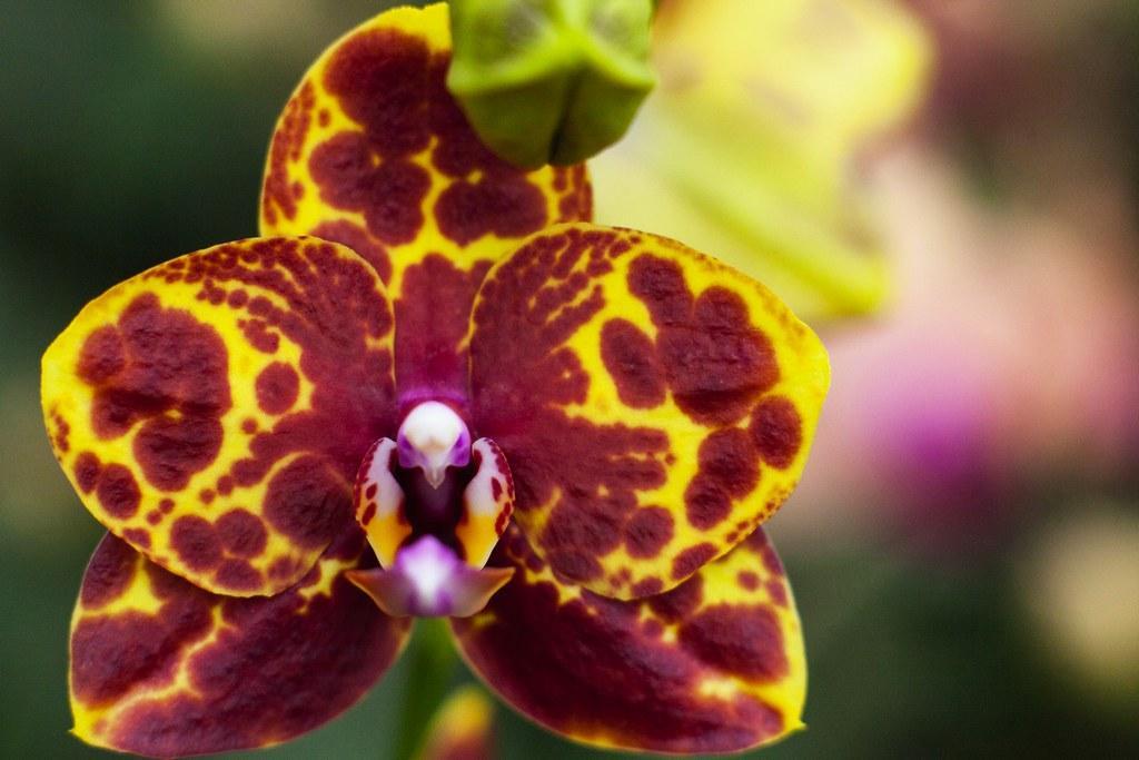 """Орхидея сорт GW Green world Snakeskin, горшок 2,5"""" без цветов"""