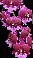 """Орхидея Сорт Hot Kiss (биглип) размер 2.5""""  без цветов."""