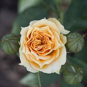 Роза Макарена (Macarena) Спрей, фото 2