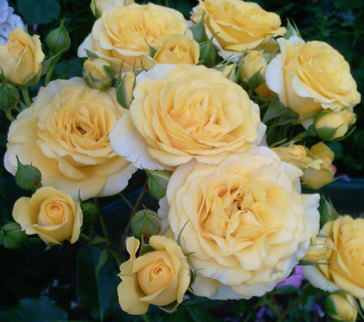 Роза Макарена (Macarena) Спрей