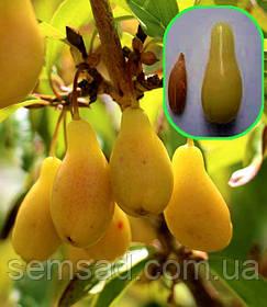 Кизил сорт Флава  ( саженцы 2 года  ОКС )  Привитой - плодоносит