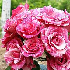 Роза Пинк Флеш (Pink Flash) Спрей, фото 2