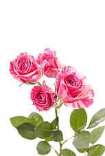 Роза Пинк Флеш (Pink Flash) Спрей, фото 3