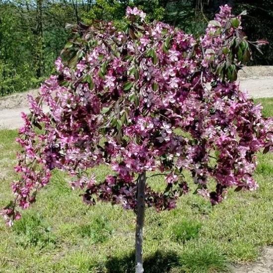 Декоративна райська яблуня Чилс Випинг Pendula  (штамб Н 1,2-1,8м)