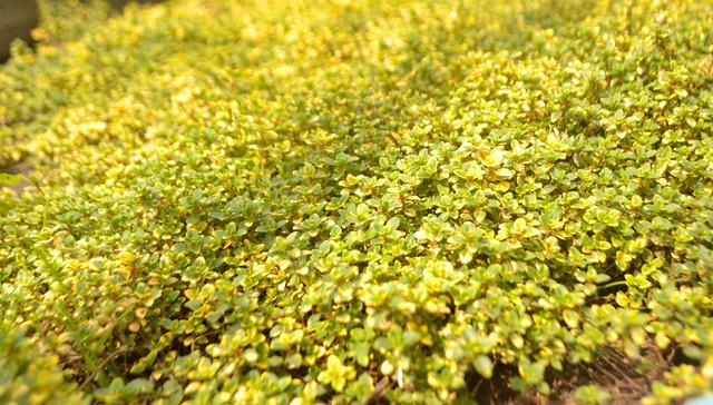 тимьян лимоннопахнущий почвопокровный