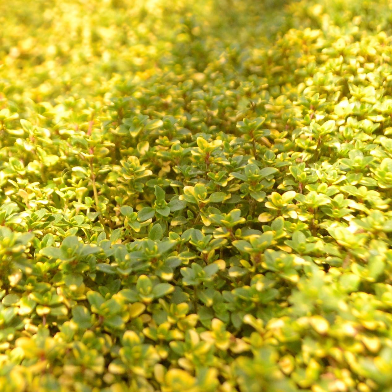 Чебрець лимоннопахнущий почвопокровный