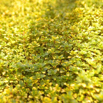 Чебрець лимоннопахнущий почвопокровный, фото 2