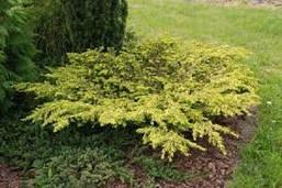 Ялівець звичайний Depressa Aurea 4 річний, Можжевельник обыкновенный Депресса Ауреа, Juniperus Depressa Aurea, фото 2