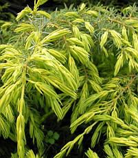 Ялівець звичайний Depressa Aurea 4 річний, Можжевельник обыкновенный Депресса Ауреа, Juniperus Depressa Aurea, фото 3