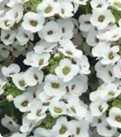 Семена алиссума Персона White Kitano Seeds 500 шт (Проф упаковка 500 шт)