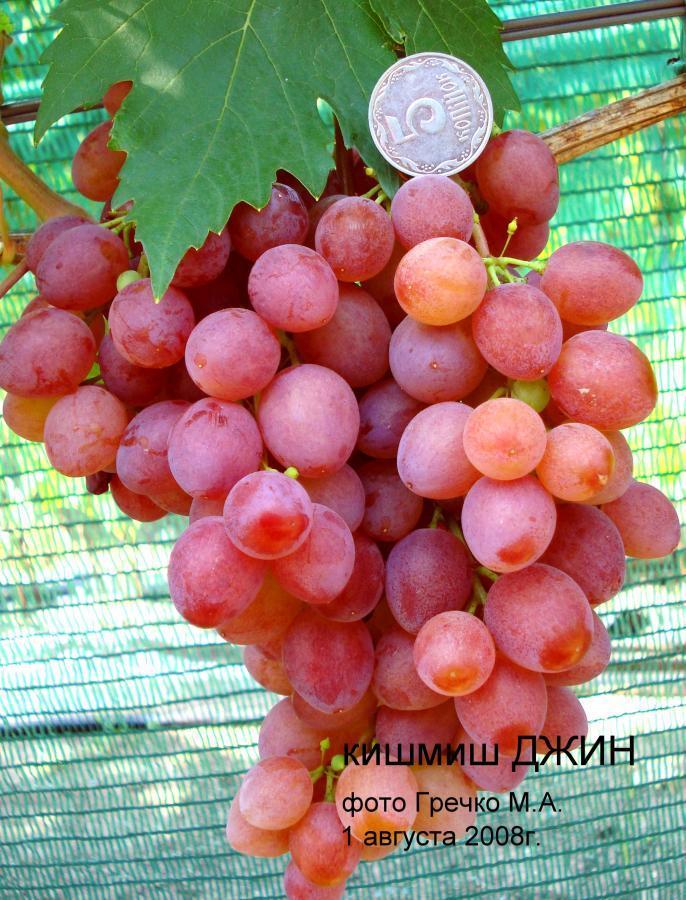 """Виноград """"Джин"""""""