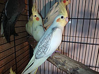 Ручные кореллы. Красивые попугаи. Разного окраса.