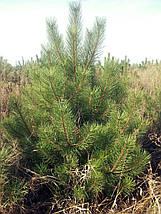 Сосна Крымская. Высота 2 метра., фото 2
