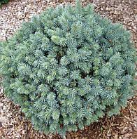 Ель колючая Нана (Picea pungens Nana)