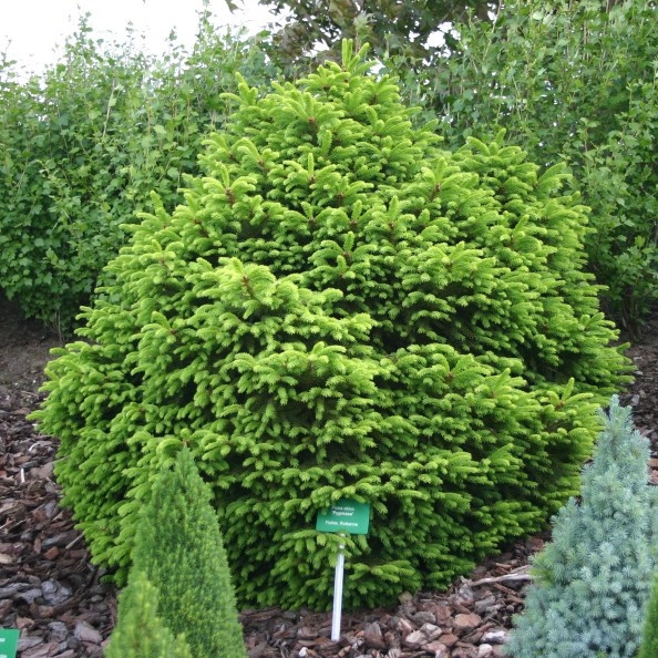 Ель обыкновенная Компакта (Picea abies Compacta)