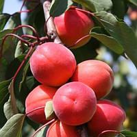 Саженцы Абрикоса Ле (Le) 32-76 - средний, крупноплодный, урожайный