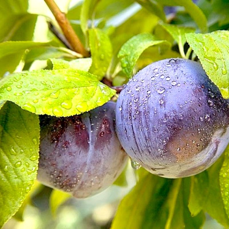 Алыча Анжелино - диплоидный поздний сорт, крупноплодный, морозостойкий