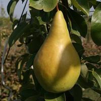 Саженцы Груши Богема - зимнего срока, урожайная, крупноплодная