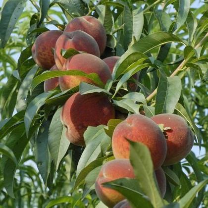 Персик Команч - средне-ранний, крупноплодный, урожайный