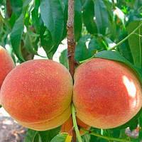 Персик Санрайз - средний, крупноплодный, урожайный
