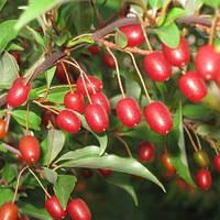 Гуми (Лох многоцветковый) (Elaeagnus multiflora)