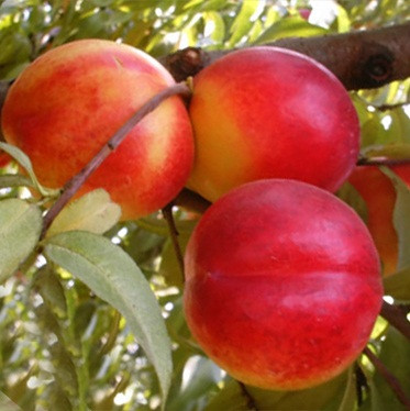 Нектарин Хемус - ранний, урожайный, зимостойкий