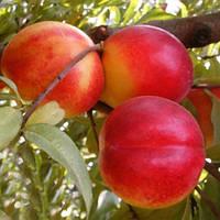 Нектарин Хемус - ранний, урожайный, зимостойкий, фото 1