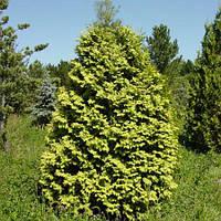 Туя западная Вареана Лютесценс (Thuja occidentalis Wareana Lutescens)