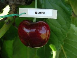 Черешня Дилемма-( летний сорт, средннего срока) .