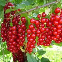 Смородина красная  Валентиновка - поздняя, урожайная, промышленная