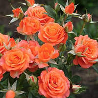 Роза - спрей Алегрия (Alegria)