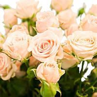 Роза - спрей Яна (Jana)