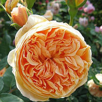 Роза английская Корона Принцессы Маргарет (Rose Crown Princess Margareta)