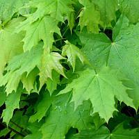 Клён остролистный (Acer platanoides)