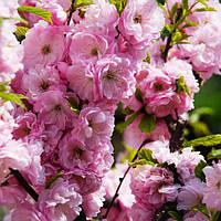 Миндаль трёхлопастный, или луизеания трёхлопастная (Prunus triloba)