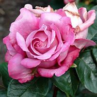 Роза - плетистая Аметист (Rose Amethyste)