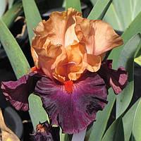 Ирис германский Брагадочио (Iris germanica Braggadocio)