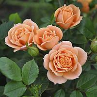 Роза - бордюрная  Клементина (Rose Clementine)
