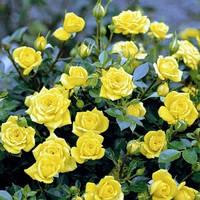Роза - бордюрная  Желтая Кукла (Yellow Doll)