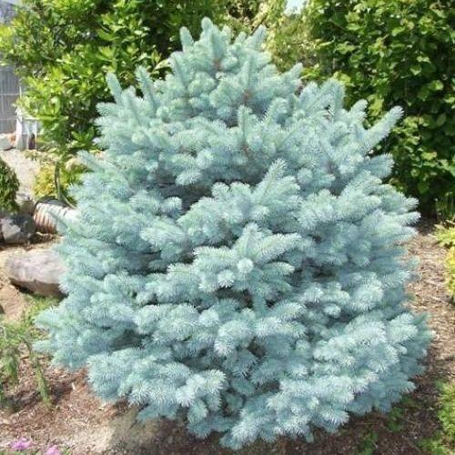 Саженцы Ели колючей голубой  Кейбаб (Picea pungens Glauca Kaibab)
